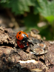 soil(0.0), animal(1.0), ladybird(1.0), nature(1.0), invertebrate(1.0), insect(1.0), macro photography(1.0), fauna(1.0), close-up(1.0), beetle(1.0), wildlife(1.0),