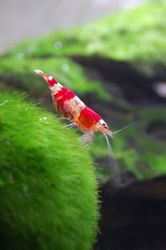 Pregnant crystal red shrimp