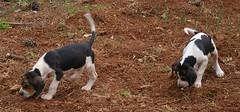 pet(0.0), pointer(0.0), dog breed(1.0), animal(1.0), danish swedish farmdog(1.0), dog(1.0), american foxhound(1.0), mammal(1.0), hunting dog(1.0),