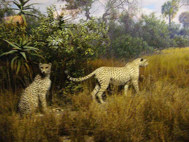Cheetah  The Biggest Animals Kingdom