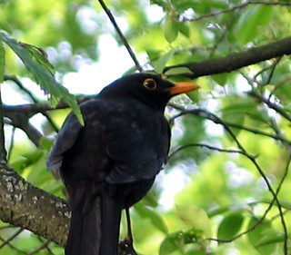 This blackbird talked with me!
