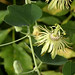 Yellow Passionflower - Photo (c) Patrick Coin, some rights reserved (CC BY-NC-SA)