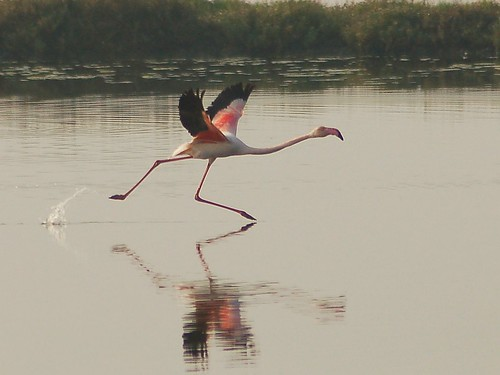 Flamingo take off