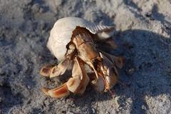 ocypodidae(0.0), seafood(0.0), marine biology(0.0), dungeness crab(0.0), food(0.0), crab(1.0), animal(1.0), crustacean(1.0), invertebrate(1.0), macro photography(1.0), fauna(1.0), close-up(1.0),