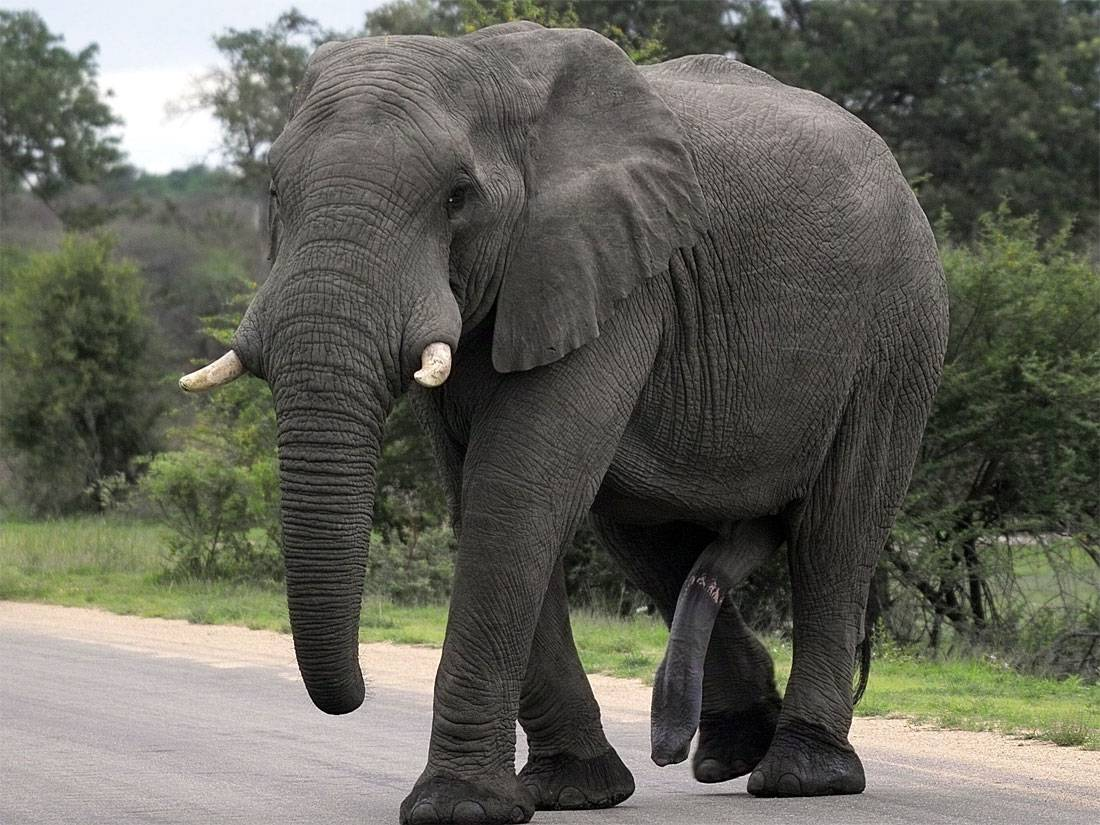 How big is an elephant dick