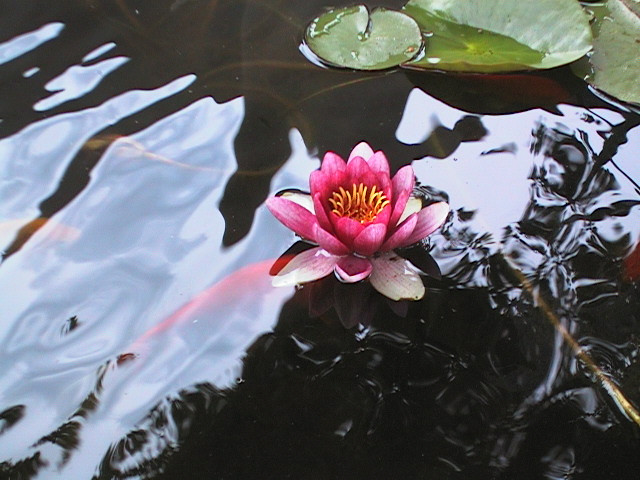 Koi pond with lotus flickr photo sharing for Koi fish pond lotus