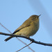Common Chiffchaff - Photo (c) Ferran Pestaña, some rights reserved (CC BY-SA)