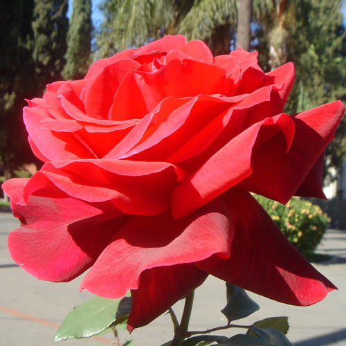 Most Beautiful Red Rose Ever 2 | Flickr - Photo Sharing! Most Beautiful Single Red Rose