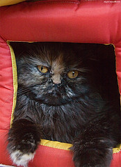 exotic shorthair, animal, small to medium-sized cats, red, pet, mammal, black cat, cat,