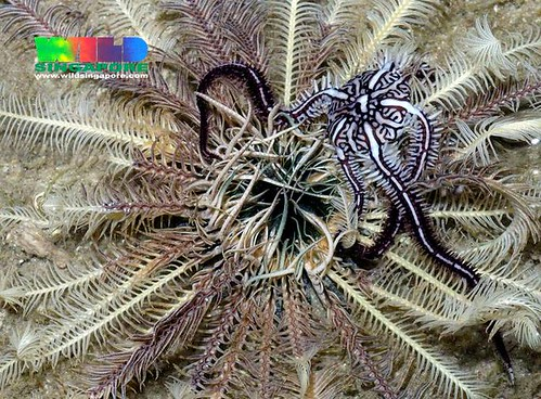 Feather star with Commensal brittle star (Ophiomaza cacaotica)