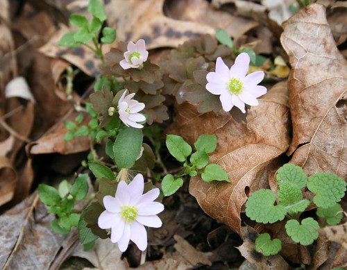 Rue anemone, Anemonella thalictroides