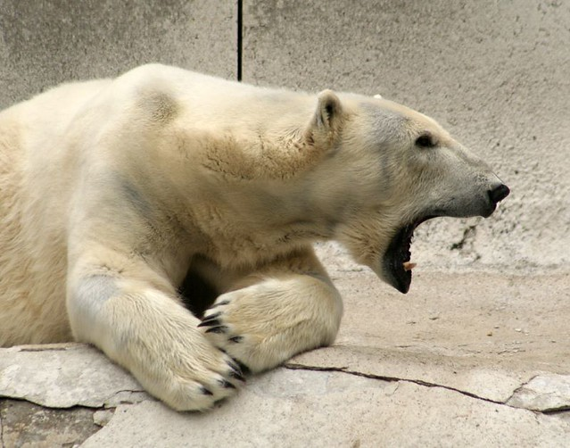 Polar Bear Teeth | Flickr - Photo Sharing!