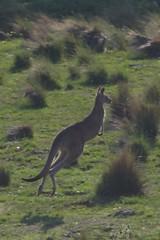 guanaco(0.0), gazelle(0.0), animal(1.0), prairie(1.0), marsupial(1.0), mammal(1.0), kangaroo(1.0), fauna(1.0), savanna(1.0), grassland(1.0), wildlife(1.0),