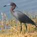 Little Blue Heron - Photo (c) Geoff Coe, some rights reserved (CC BY-NC-ND)