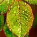 Waterdrops on rose-leafs 2. by peterkend