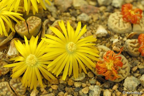 Lithops dorotheae flowers