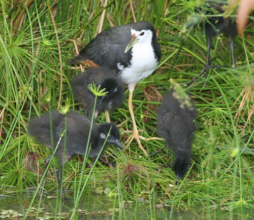 White breasted waterhen and brood