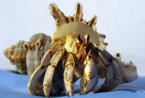 macro closeup of land hermit crab