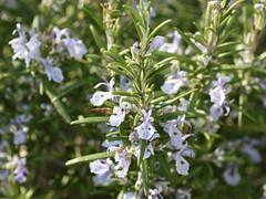 hyssopus(0.0), shrub(0.0), breckland thyme(0.0), lilac(0.0), flower(1.0), rosemary(1.0), plant(1.0), wildflower(1.0), flora(1.0),