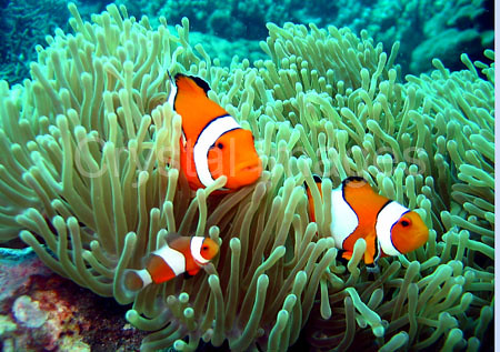 Clown fish facts for kids for Clown fish adaptations