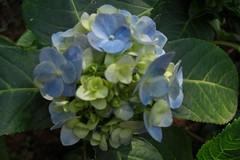 shrub(0.0), flower(1.0), hydrangea serrata(1.0), plant(1.0), hydrangeaceae(1.0),