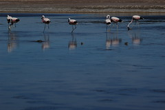 San Pedro de Atacama's Flamingos