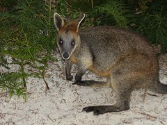 wallaby, animal, marsupial, mammal, kangaroo, fauna, wildlife,