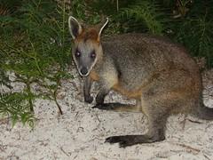 grey fox(0.0), kit fox(0.0), musk deer(0.0), viverridae(0.0), wallaby(1.0), animal(1.0), marsupial(1.0), mammal(1.0), kangaroo(1.0), fauna(1.0), wildlife(1.0),