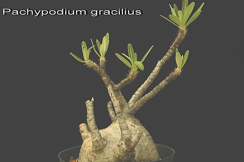 Pachypodium  gracilius.,