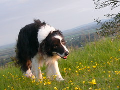 border collie(1.0), dog breed(1.0), animal(1.0), dog(1.0), pet(1.0), collie(1.0), english shepherd(1.0), carnivoran(1.0),