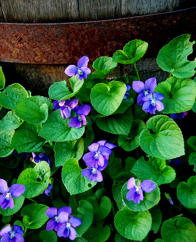 violets and barrel