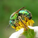 Sweat Bees - Photo (c) Sean McCann, some rights reserved (CC BY-NC-SA)