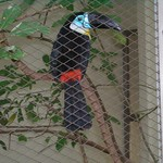 Blue Billed Toucan at KL Bird Park