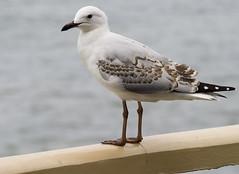 Sea Gull on Rail+