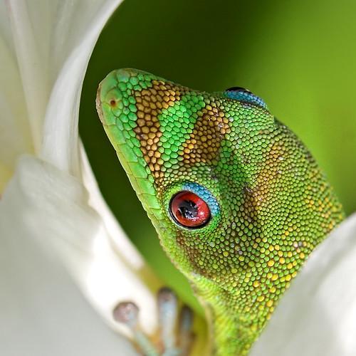 macro closeup bravo quality bestviewedlarge gecko oneyear spiderlily nobull 17522 nocowboy noclown