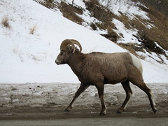 animal, sheeps, sheep, argali, mammal, horn, fauna, bighorn, wildlife,