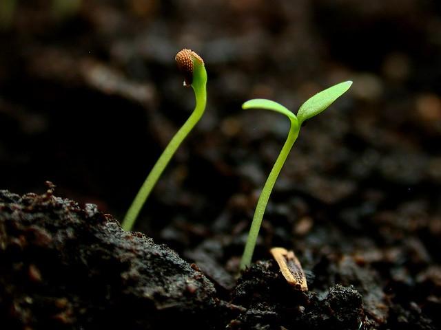 Seedlings Common chickweed