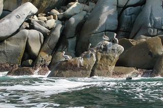 Pelikans In Mexico