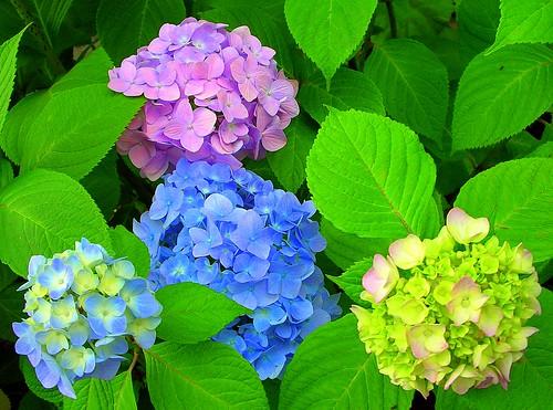Colors of Hydrangea, Japan