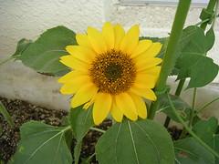 Son's Sun Flower