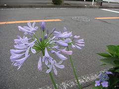 紫君子蘭 アガパンサス / Agapanthus
