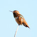 Allen's Hummingbird - Photo (c) Jason Stuck, some rights reserved (CC BY-NC-ND)