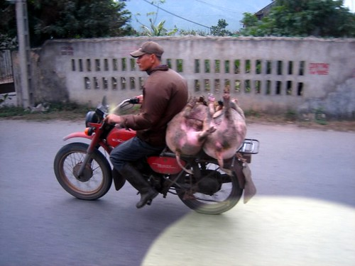 two pigs on a motorbike