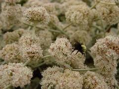 yarrow(0.0), blossom(0.0), shrub(0.0), produce(0.0), pollen(1.0), flower(1.0), plant(1.0), subshrub(1.0), herb(1.0), flora(1.0), meadowsweet(1.0),