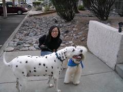 animal, dog, pet, mammal, dalmatian,
