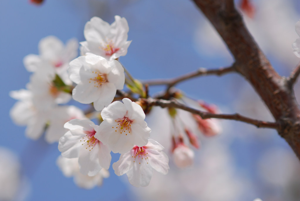 Photo:Cherry By:BONGURI
