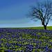The King of Bluebonnet Hill by Jeff Clow
