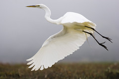 Great Egret - Photo (c) Mike Baird, some rights reserved (CC BY)