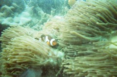 brain coral(0.0), coral reef(1.0), animal(1.0), coral(1.0), coral reef fish(1.0), organism(1.0), marine biology(1.0), invertebrate(1.0), stony coral(1.0), fauna(1.0), cnidaria(1.0), underwater(1.0), reef(1.0), pomacentridae(1.0), sea anemone(1.0),