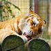 Licking golden tiger